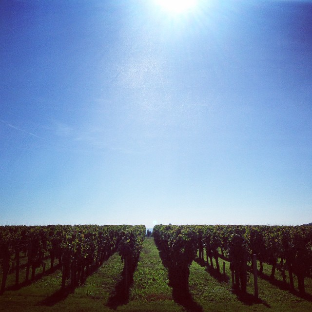 Vines at Chateau De Ferrand