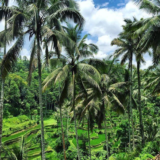 Rice fields near Ubud